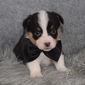 Pembroke Welsh Corgi Puppy For Sale – Khufu, Male – Deposit Only