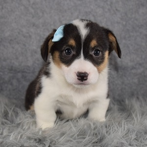 Pembroke Welsh Corgi Puppy For Sale – Leia, Female – Deposit Only