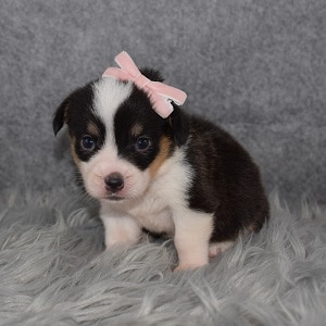 Pembroke Welsh Corgi Puppy For Sale – Lily, Female – Deposit Only
