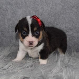 Pembroke Welsh Corgi Puppy For Sale – Lorelei, Female – Deposit Only