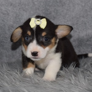 Pembroke Welsh Corgi Puppy For Sale – Marg, Female – Deposit Only