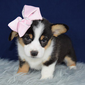 Pembroke Welsh Corgi Puppy For Sale – Martini, Female – Deposit Only