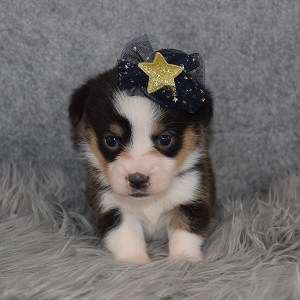 Pembroke Welsh Corgi Puppy For Sale – Nefertiti, Female – Deposit Only