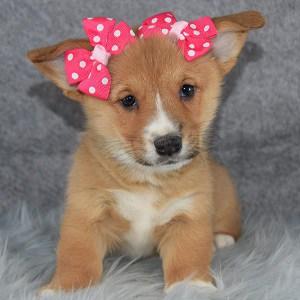 Nova Pembroke Welsh Corgi puppy for sale in DC