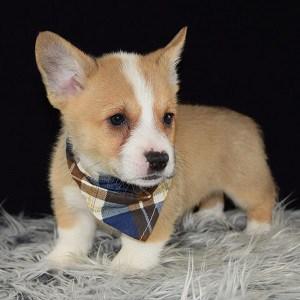 corgi puppies price