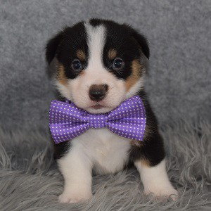 Pembroke Welsh Corgi Puppy For Sale – Ramesses, Male – Deposit Only