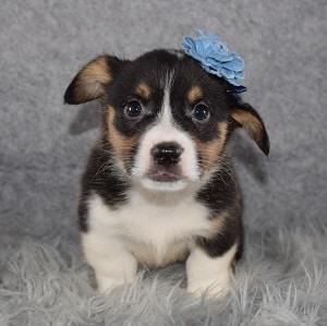 Pembroke Welsh Corgi Puppy For Sale – Rey, Female – Deposit Only