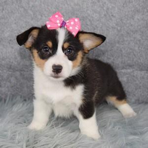 Pembroke Welsh Corgi Puppy For Sale – Sangria, Female – Deposit Only