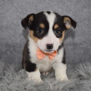 Pembroke Welsh Corgi Puppy For Sale – Solo, Male – Deposit Only