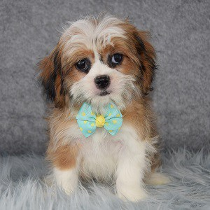 Tag Cava Tzu puppy for sale in DC