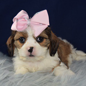 Vixie Cava Tzu puppy for sale in PA