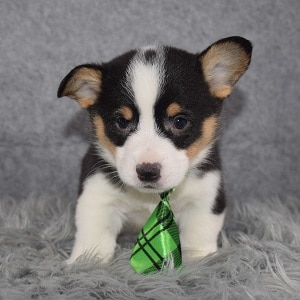 Pembroke Welsh Corgi Puppy For Sale – Yoda, Male – Deposit Only