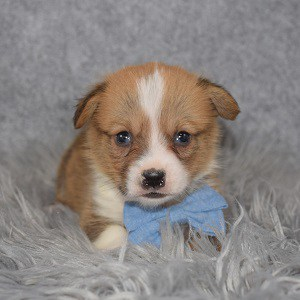 Pembroke Welsh Corgi Puppy For Sale – Zuma, Male – Deposit Only
