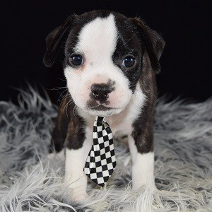 BoJug puppy for sale in PA