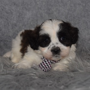Shichon Puppy For Sale – Travis, Male – Deposit Only