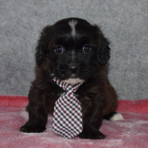 Shihpoo Puppy For Sale – Asher, Male – Deposit Only