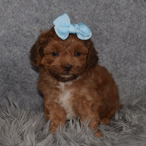 Shihpoo Puppy For Sale – Cookie, Female – Deposit Only