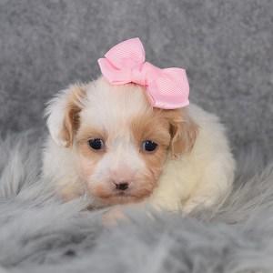 Shihpoo Puppy For Sale – Elowyn, Female – Deposit Only