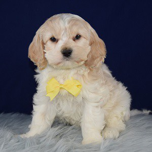 Cockalier Puppy For Sale – Billy, Male – Deposit Only