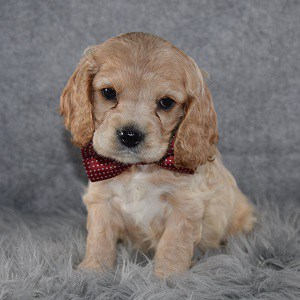 Cockalier Puppy For Sale – Doherty, Male – Deposit Only