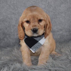 Cockalier Puppy For Sale – Donovan, Male – Deposit Only
