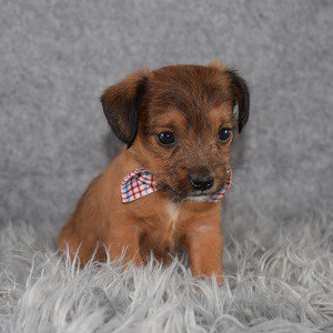 Jackapoo Puppy For Sale – Pippen, Male – Deposit Only
