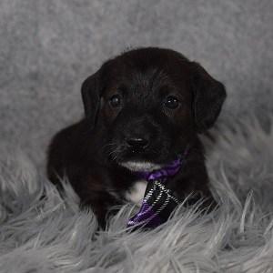 Jackapoo Puppy For Sale – Wichita, Male – Deposit Only