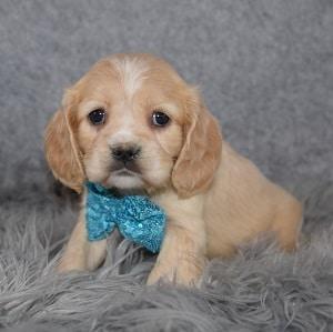 Cockalier Puppy For Sale – Zipper, Male – Deposit Only