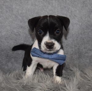BoJack Puppy For Sale – Barney, Male – Deposit Only