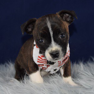 Excalibur BoJack puppy for sale in NJ