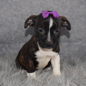 BoJack Puppy For Sale – Patsy, Female – Deposit Only