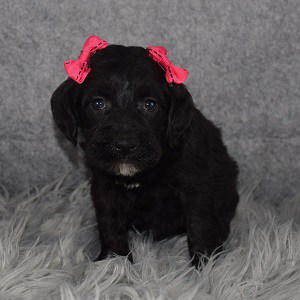 Schnoodle Puppy For Sale – Rosemary, Female – Deposit Only