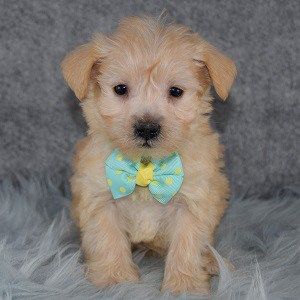 Shaw Schnoodle puppy for sale in VA