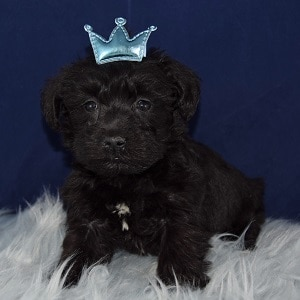Shay Schnoodle puppy for sale in CT