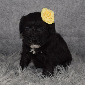 Schnoodle Puppy For Sale – Thyme, Female – Deposit Only