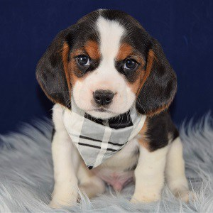 Adventure Beaglier puppy for sale in MD