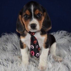 Holden Beaglier puppy for sale in PA