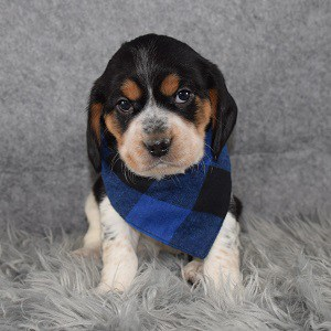 Beaglier Puppy For Sale – Juju, Male – Deposit Only