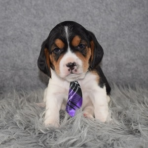 Beaglier Puppy For Sale – Magic, Male – Deposit Only