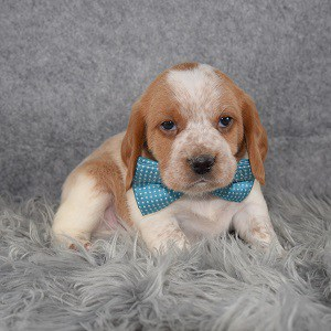 Beaglier Puppy For Sale – Mojo, Male – Deposit Only