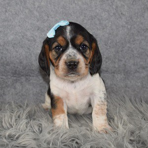 Beaglier Puppy For Sale – Mystic, Female – Deposit Only