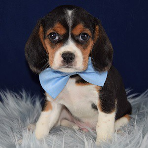 Odyssey Beaglier puppy for sale in WV