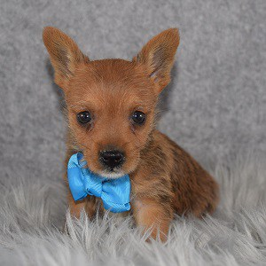 Yorkie Russell Puppy For Sale – Paulie, Male – Deposit Only