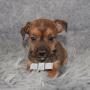Yorkie Russell Puppy For Sale – Salem, Male – Deposit Only