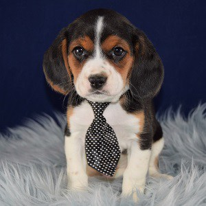 Trip Beaglier puppy for sale in PA