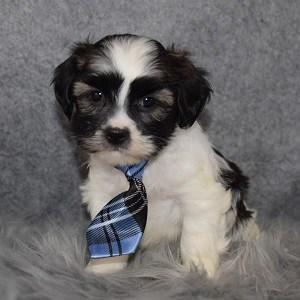 Hava Tzu Puppy For Sale – Zipp, Male – Deposit Only
