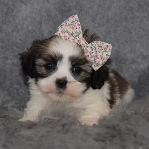 Hava Tzu Puppy For Sale – Zita, Female – Deposit Only