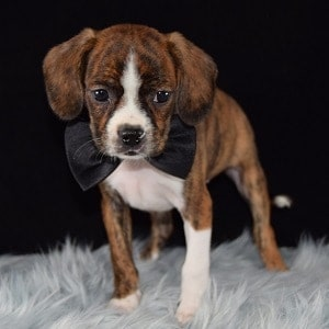 Bagel Caviston puppy for sale in WV