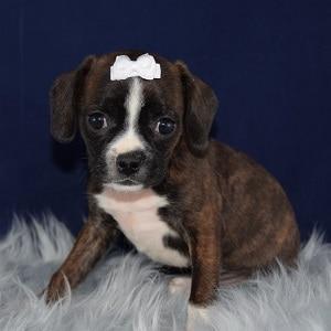 Brienne Caviston puppy for sale in WV