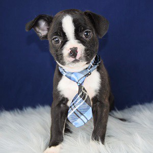 Chicken Frenchton puppy for sale in PA